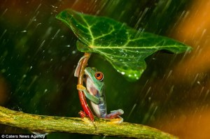 frog holding leaf in rain